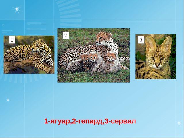 1-ягуар,2-гепард,3-сервал 1 2 3