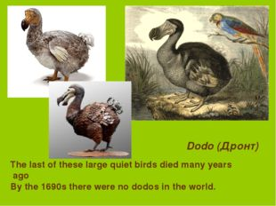 Dodo (Дронт) The last of these large quiet birds died many years ago By the 1