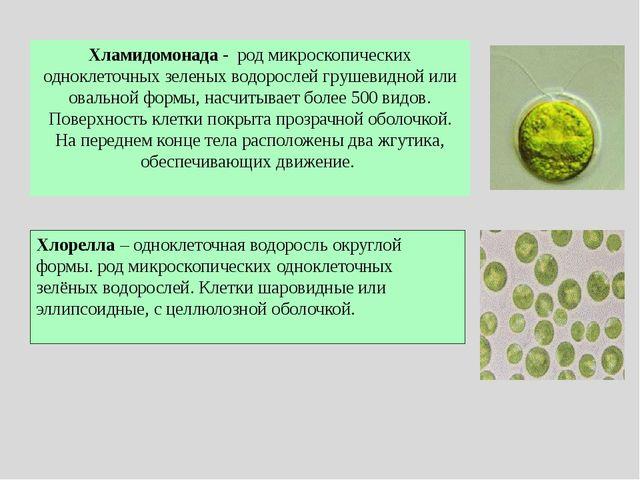 Улотрикс – хроматофор в виде незамкнутого кольца Фукус – хроматофор в виде пл...