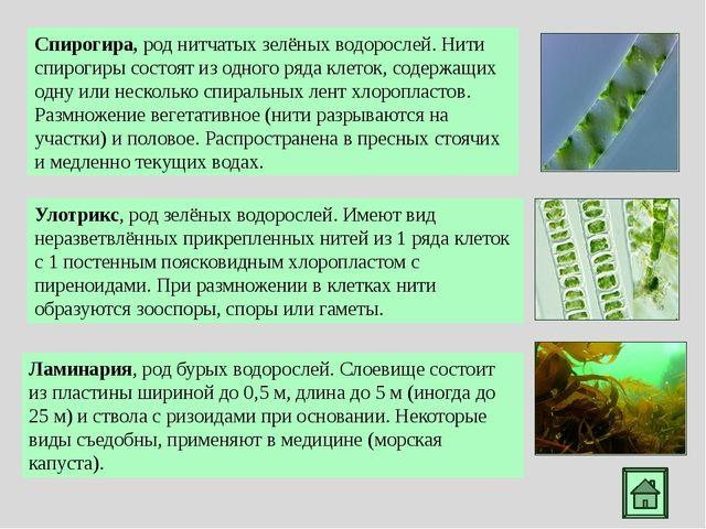 Способы размножения водорослей: бесполое и половое Улотрикс при благоприятных...