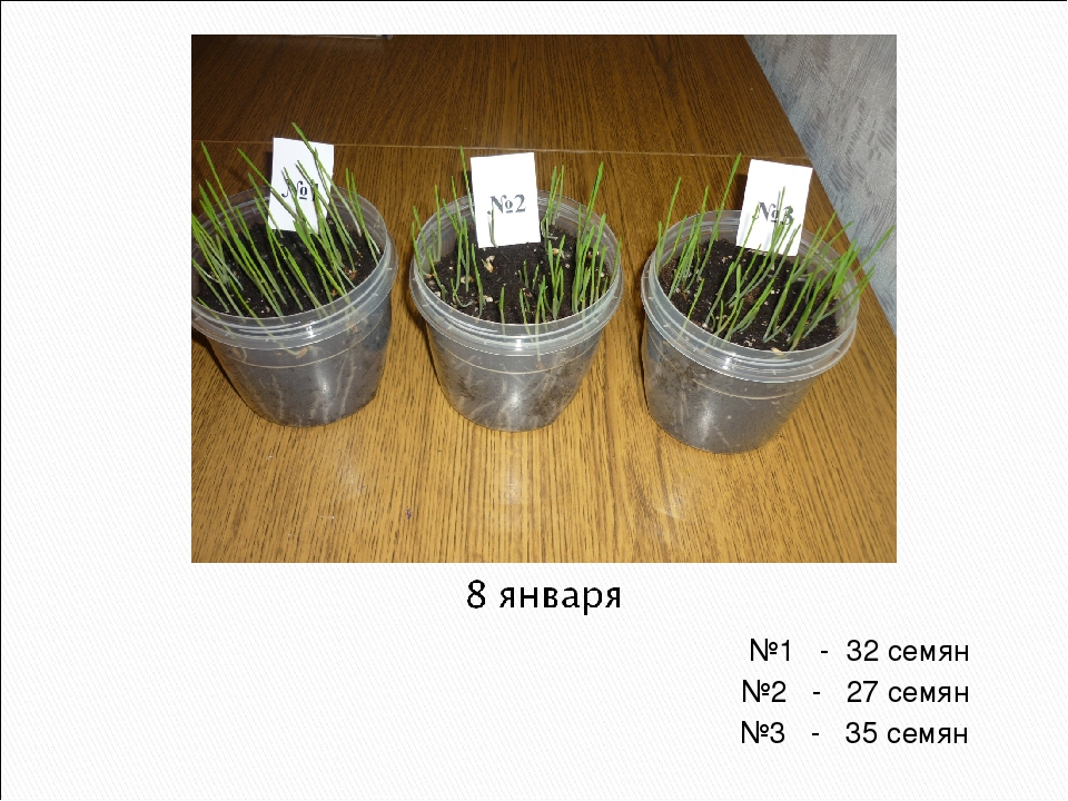 №1 - 32 семян №2 - 27 семян №3 - 35 семян