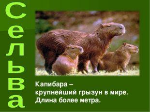 Капибара – крупнейший грызун в мире. Длина более метра.