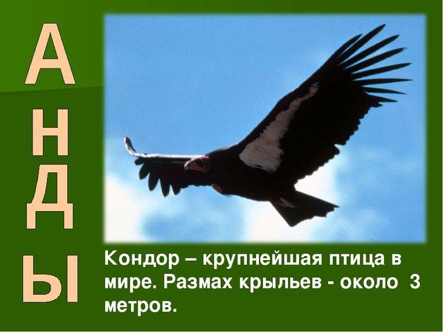 Кондор – крупнейшая птица в мире. Размах крыльев - около 3 метров.