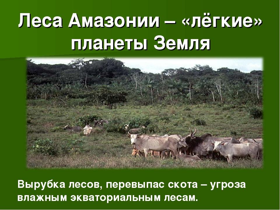 Леса Амазонии – «лёгкие» планеты Земля Вырубка лесов, перевыпас скота – угроз...