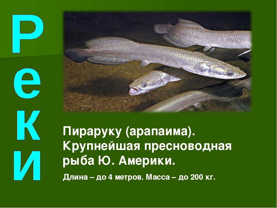 Пираруку (арапаима). Крупнейшая пресноводная рыба Ю. Америки. Длина – до 4 ме...