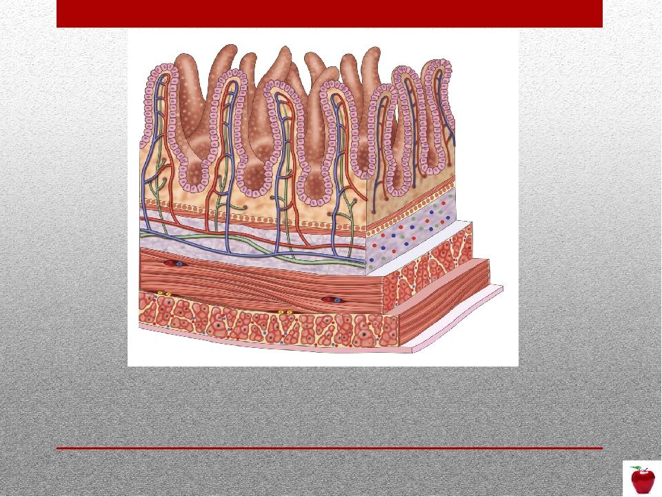 4. Почему микроворсинки состоят из однослойного эпителия?