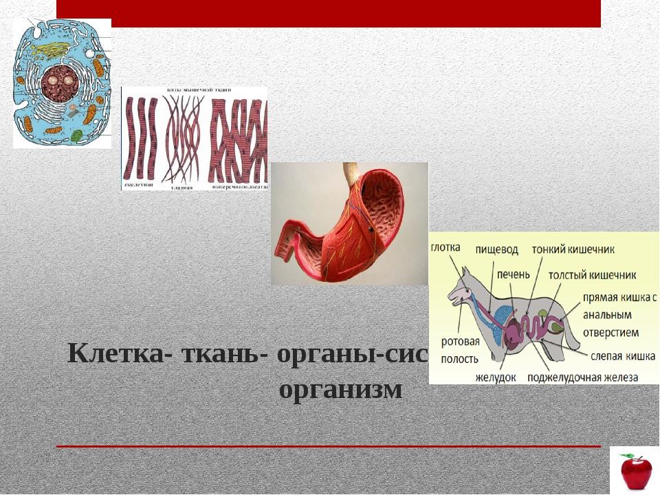Клетка- ткань- органы-система органов- организм