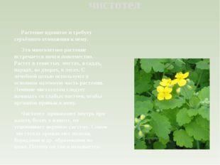 чистотел Растение ядовитое и требует серьёзного отношения к нему. Это многоле