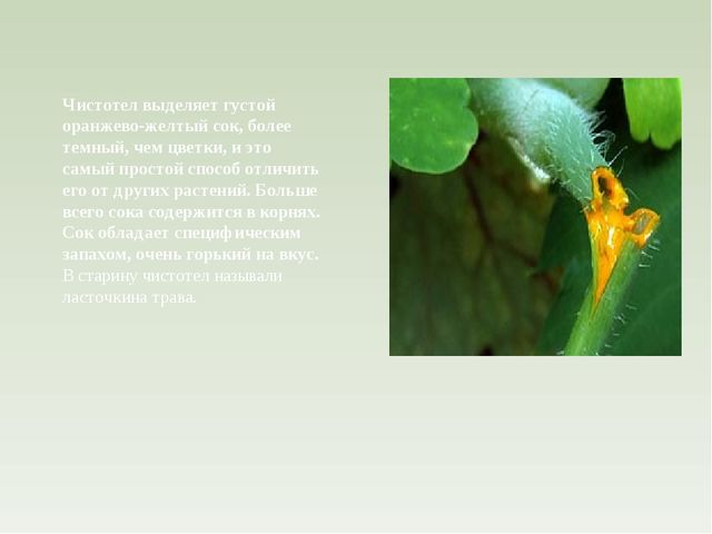 Чистотел выделяет густой оранжево-желтый сок, более темный, чем цветки, и это...