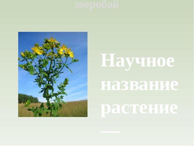 зверобой Научное название растение — зверобой продырявленный — получило из-за...