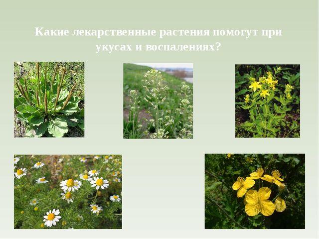 Какие лекарственные растения помогут при укусах и воспалениях?