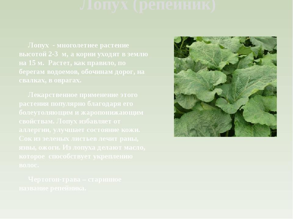 Лопух (репейник) Лопух - многолетнее растение высотой 2-3 м, а корни уходят в...