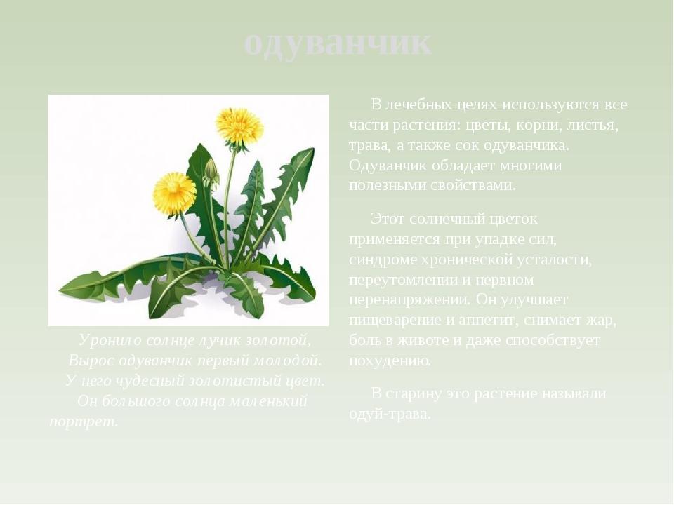 Лечебный из цветков одуванчика