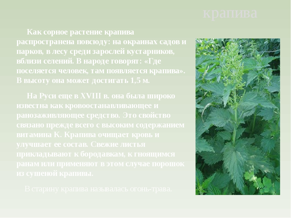 Как сорное растение крапива распространена повсюду: на окраинах садов и парк...