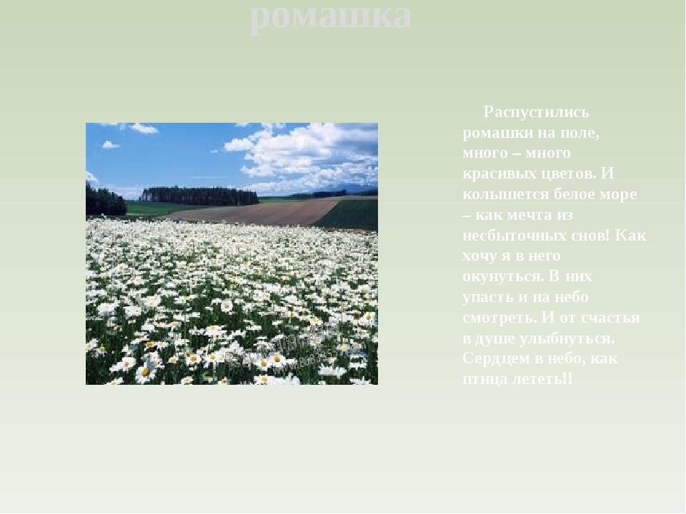 ромашка Распустились ромашки на поле, много – много красивых цветов. И колыше...
