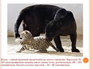 Ягуар – самый крупный представитель своего семейства. Взрослый 75 – 140 килог