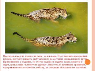 . Охотится ягуар не только на суше, но и в воде. Этот хищник прекрасный плове