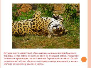 Ягуары ведут одиночный образ жизни, за исключением брачного периода, когда са