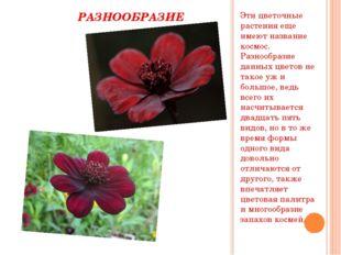 РАЗНООБРАЗИЕ Эти цветочные растения еще имеют название космос. Разнообразие