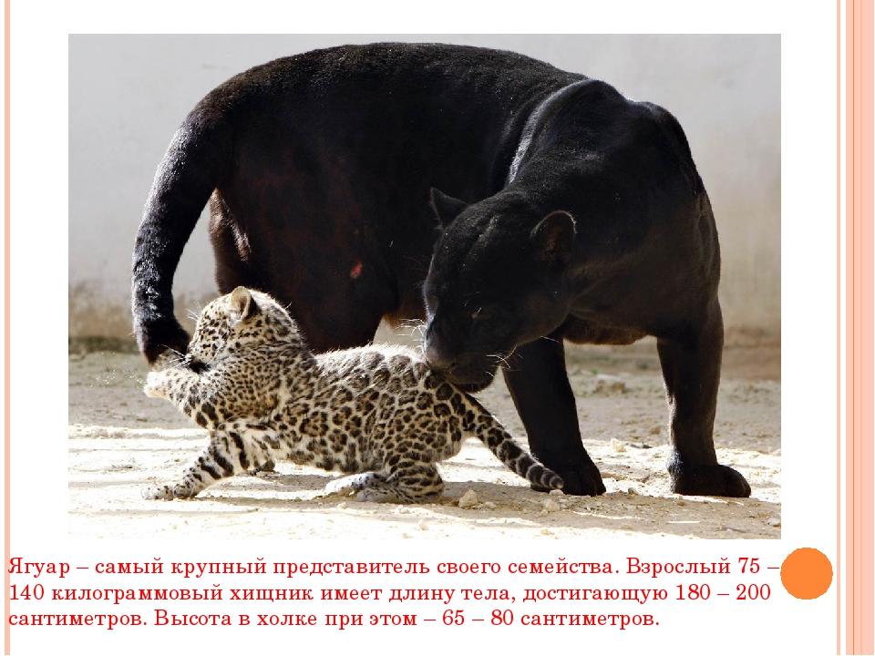 Ягуар – самый крупный представитель своего семейства. Взрослый 75 – 140 килог...