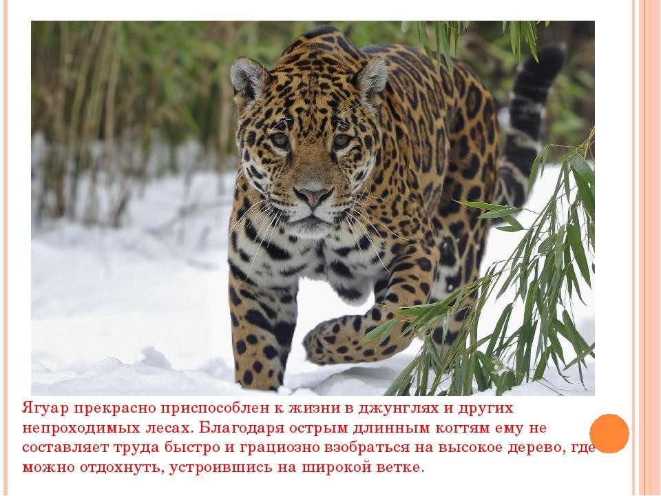 Ягуар прекрасно приспособлен к жизни в джунглях и других непроходимых лесах....