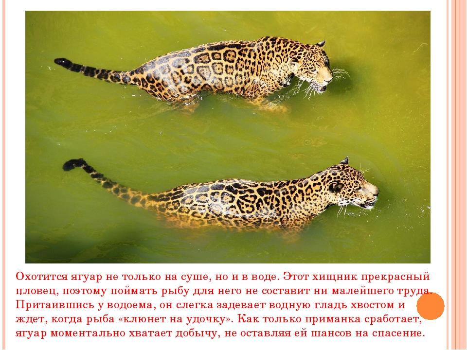 . Охотится ягуар не только на суше, но и в воде. Этот хищник прекрасный плове...