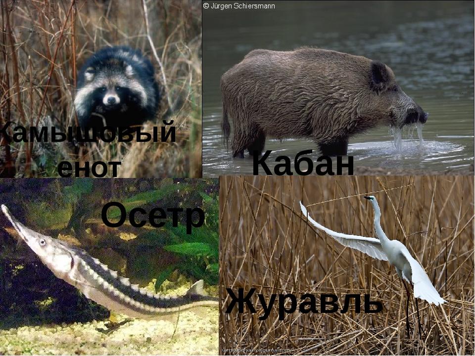 Камышовый енот Кабан Осетр Журавль