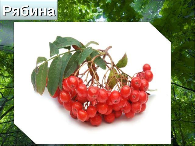 Free Powerpoint Templates Ягоды этого дерева очень полезны, но пригодны в пищ...