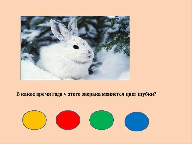В какое время года у этого зверька меняется цвет шубки?