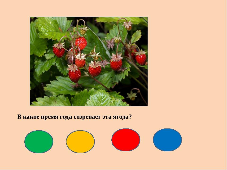 В какое время года созревает эта ягода?