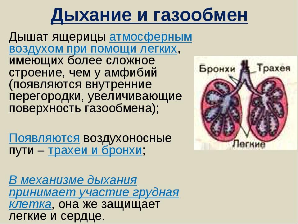 Дыхание и газообмен Дышат ящерицы атмосферным воздухом при помощи легких, име...