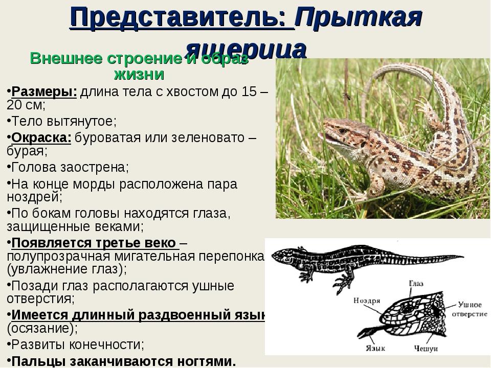 Представитель: Прыткая ящерица Внешнее строение и образ жизни Размеры: длина...