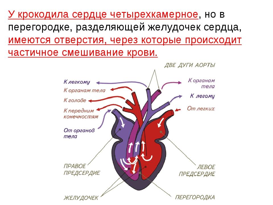 У крокодила сердце четырехкамерное, но в перегородке, разделяющей желудочек с...