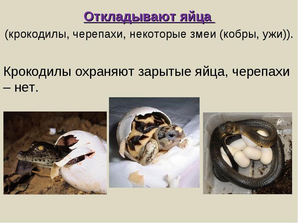 Откладывают яйца (крокодилы, черепахи, некоторые змеи (кобры, ужи)). Крокодил...
