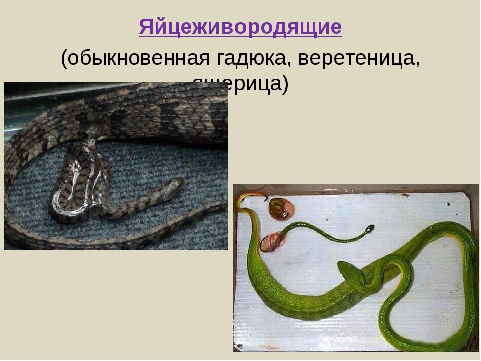 Яйцеживородящие (обыкновенная гадюка, веретеница, ящерица)