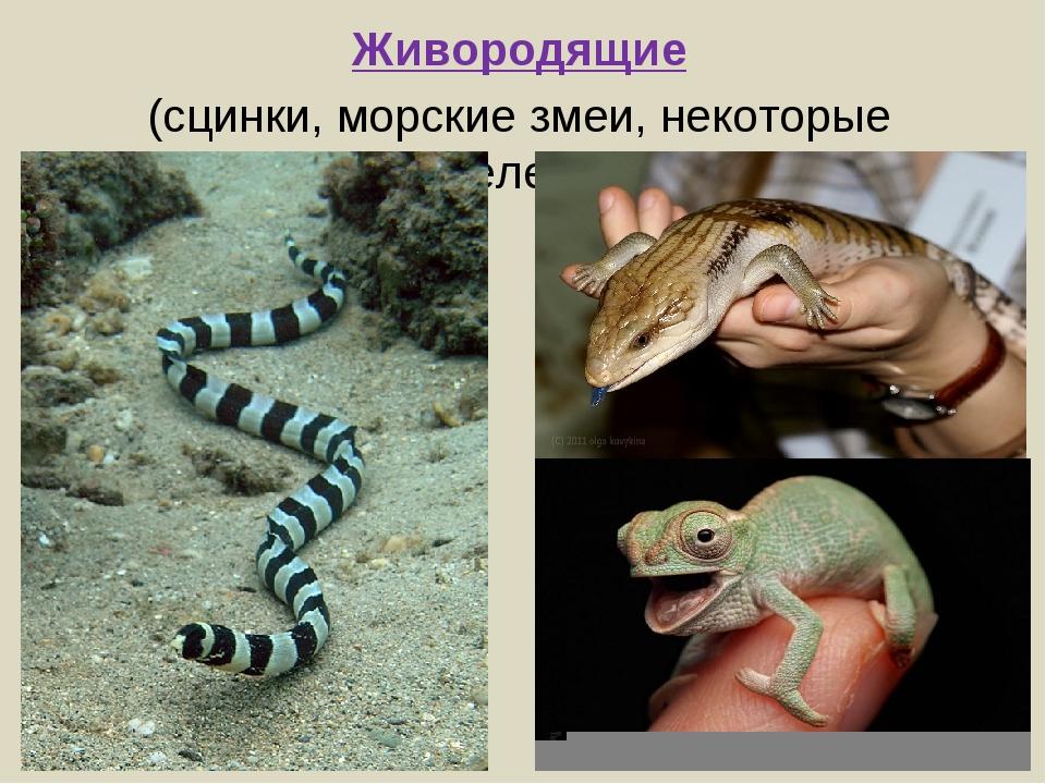 Живородящие (сцинки, морские змеи, некоторые хамелеоны)