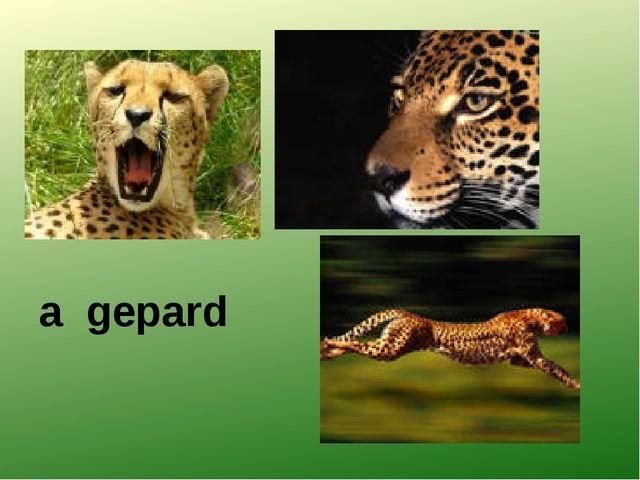 a gеpard