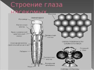 Строение глаза насекомых