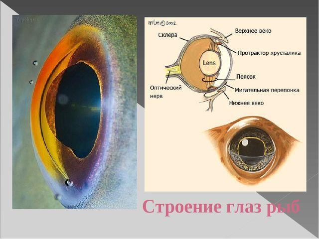 Строение глаз рыб