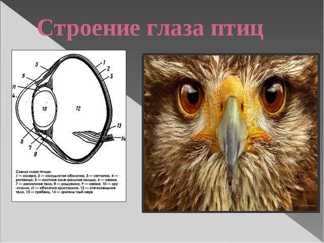 Строение глаза птиц