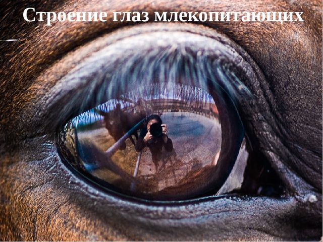 Строение глаз млекопитающих
