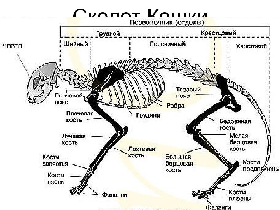какая кость отсутствует у собаки