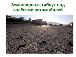Земноводные гибнут под колёсами автомобилей