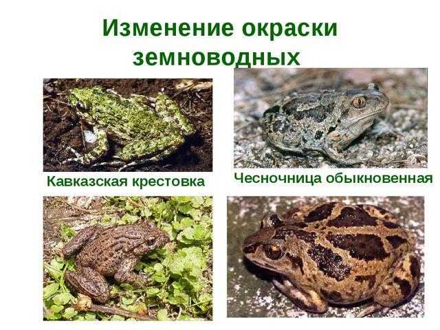 Изменение окраски земноводных Кавказская крестовка Чесночница обыкновенная