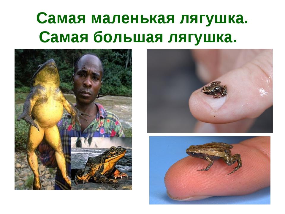 Самая маленькая лягушка. Самая большая лягушка.
