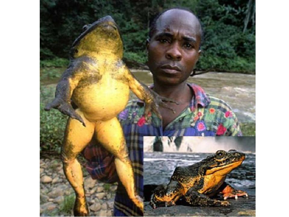 Лягушка голиаф поедает в основном насекомых, но не брезгует раками, моллюсками, некоторыми земноводными и пауками