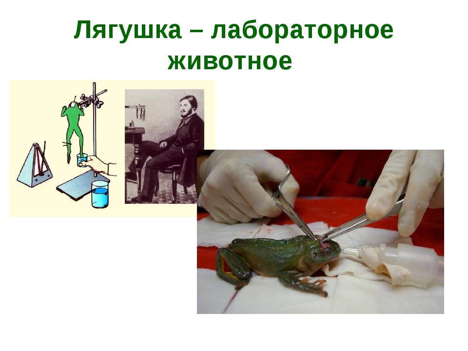 Лягушка – лабораторное животное