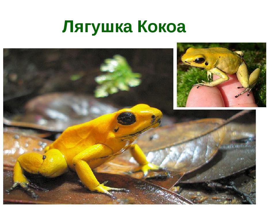 Лягушка Кокоа