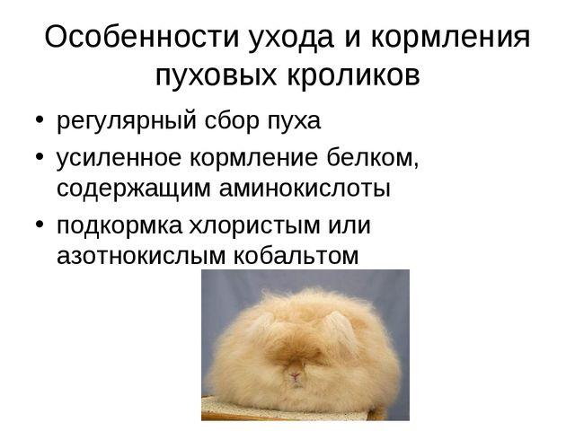 Особенности ухода и кормления пуховых кроликов регулярный сбор пуха усиленное...