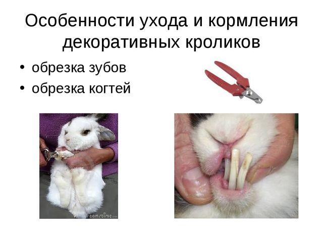 Особенности ухода и кормления декоративных кроликов обрезка зубов обрезка ког...